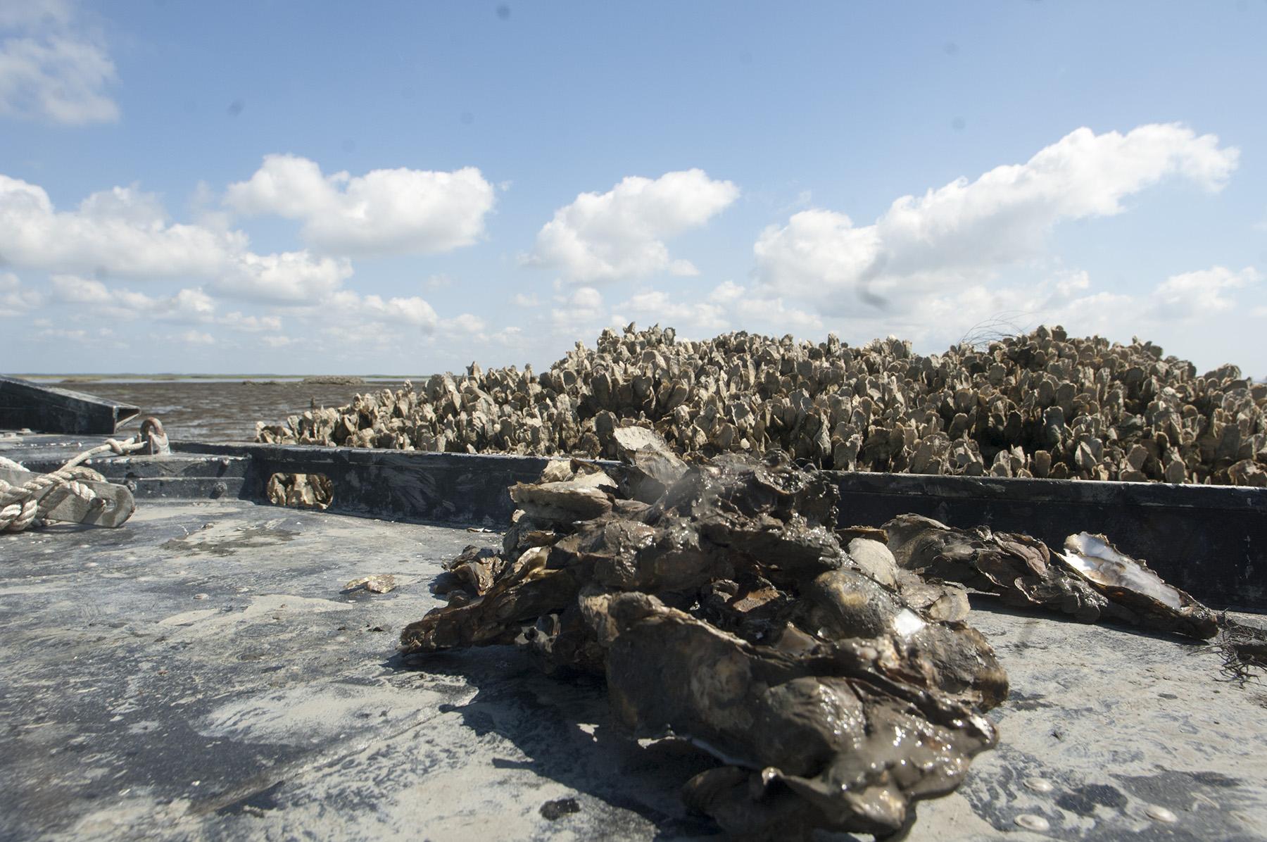 Wild Georgia Oysters