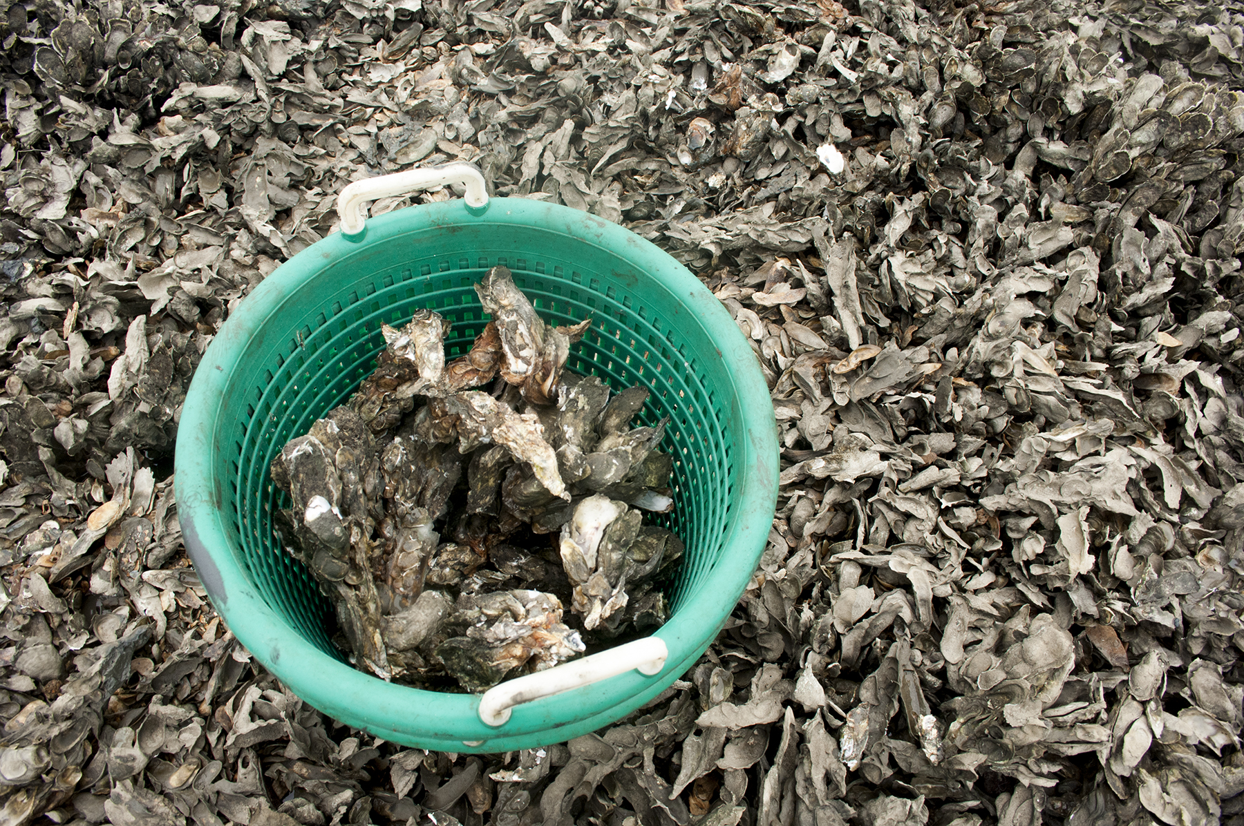Commercial oyster harvest will close June 1