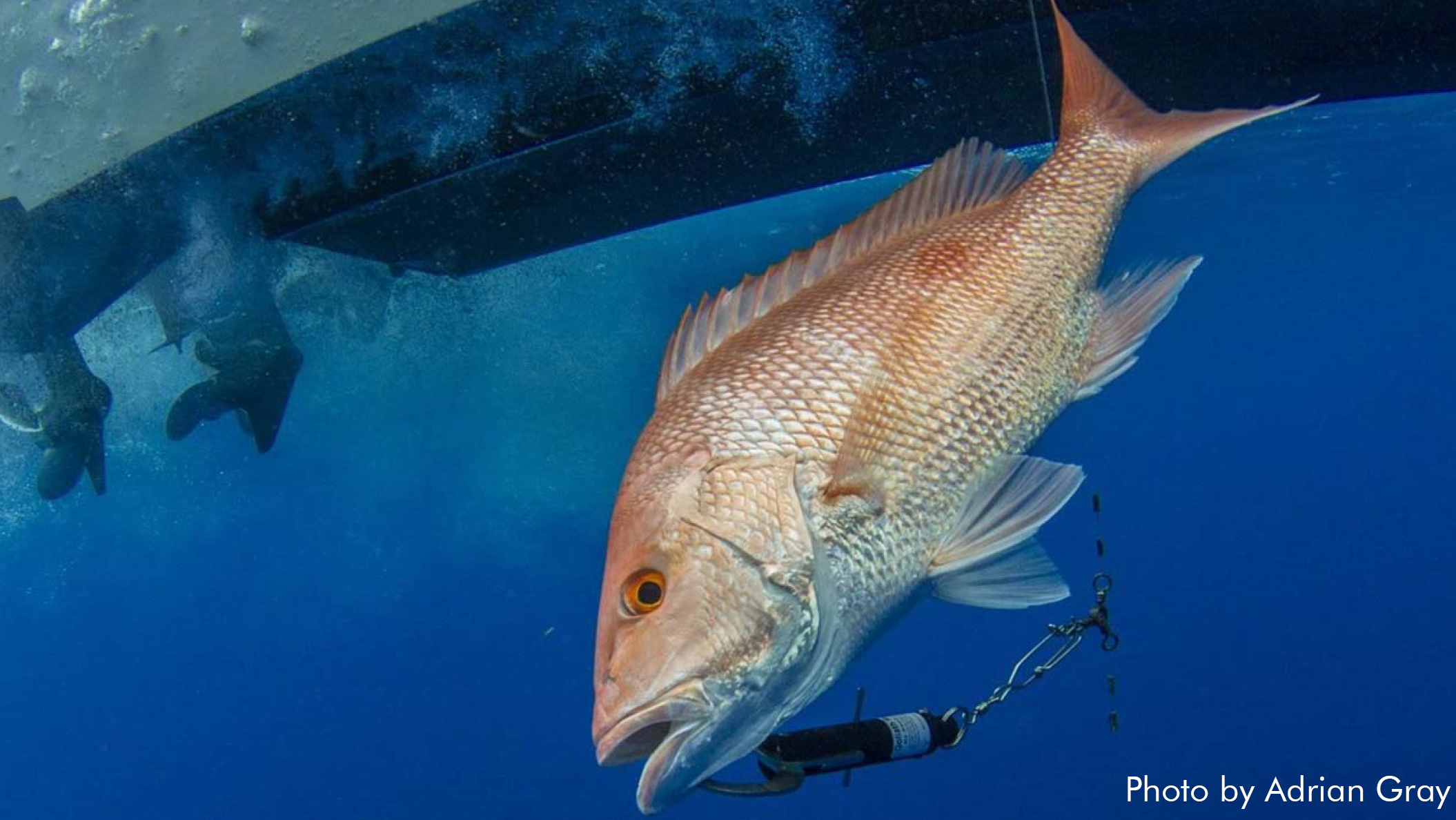 A red snapper is hooked to a descending device in this undated photo by Adrian Gray.