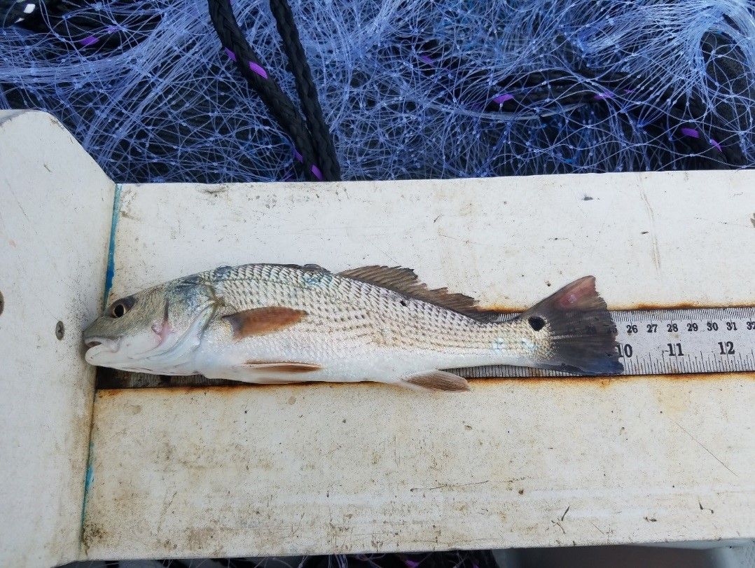 Red Drum on measuring board