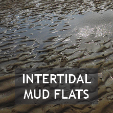 Intertidal Mud Flats