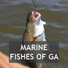 Marine Fishes of Georgia