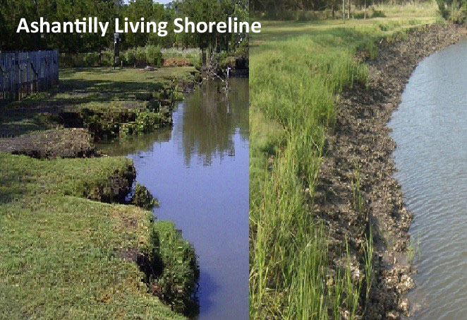 Living Shoreline at Ashantilly