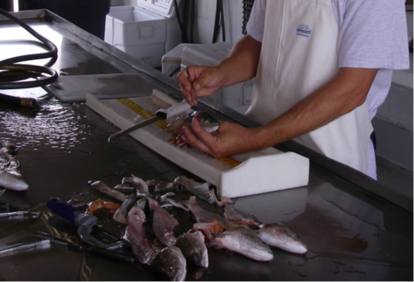 Photo of biologists working up donated fish carcasses