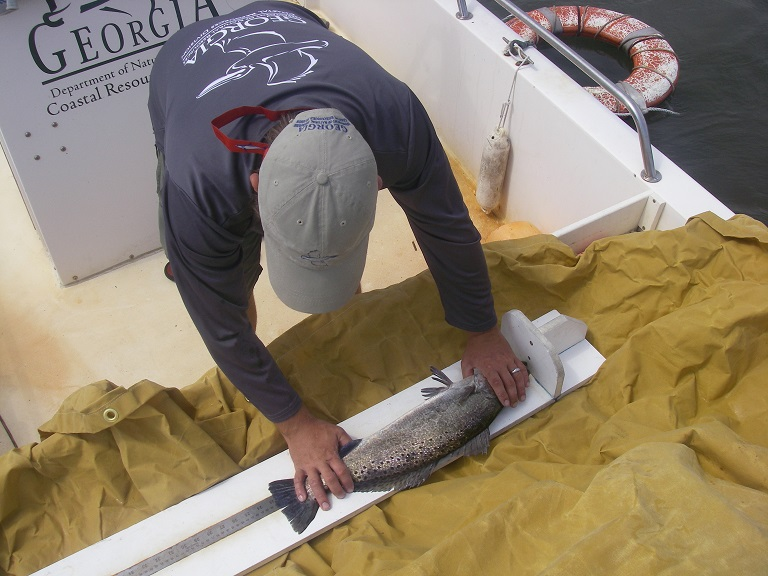 Photo of biologist measuring the length of a spotted seatrout