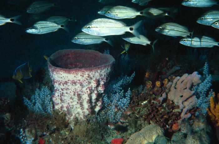 Barrel Sponge Offshore Georgia