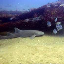 Nurse shark on artificial reef